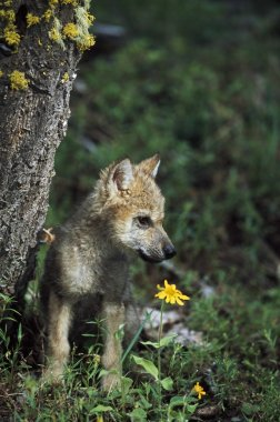 Wolf Puppy (Canis Latrans)