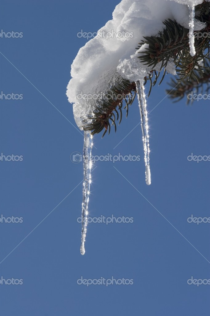 Icicle On Evergreen Tree