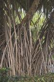 kořenový systém tropických stromů