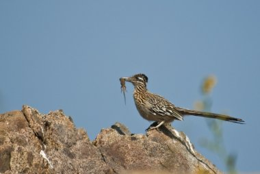 Greater Roadrunner With Its A Prey
