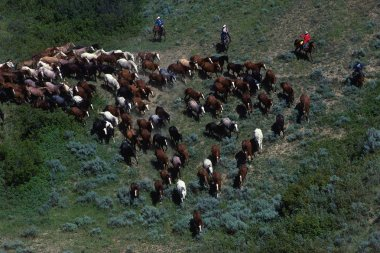 Cowboys Herding Horses Through Scrub Brush