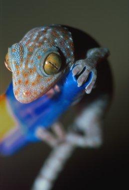 Closeup Of Gecko