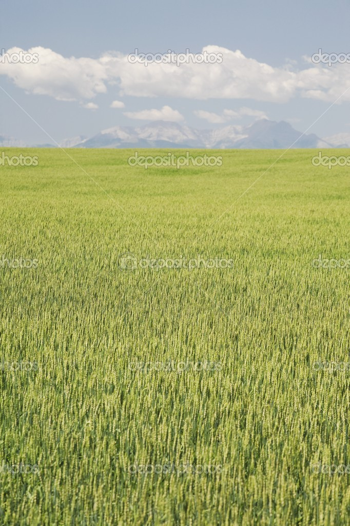 Unripe Wheat Field, Alberta, Canada