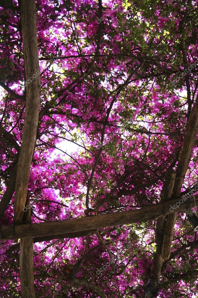 Flowering Bougainvillea Trees