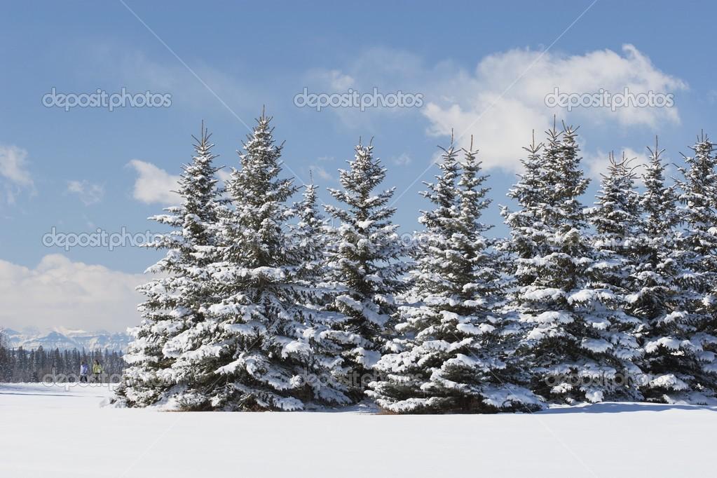 Nevado rboles de hoja perenne con excursionistas en la for Arboles de hoja perenne en galicia
