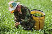 Fotografia persone lavorano in una piantagione di tè in Thailandia
