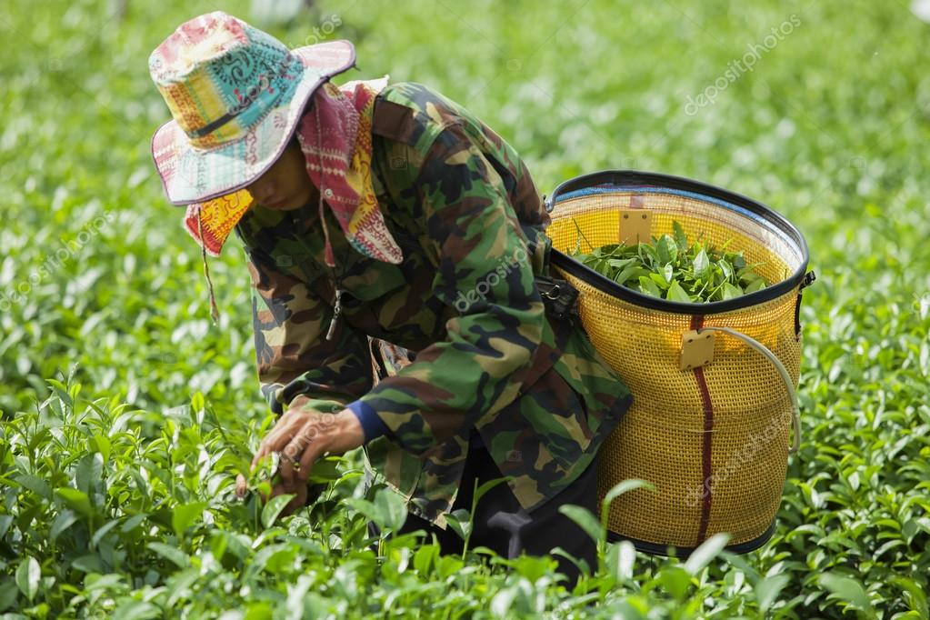 People work on a tea plantation in Thailand
