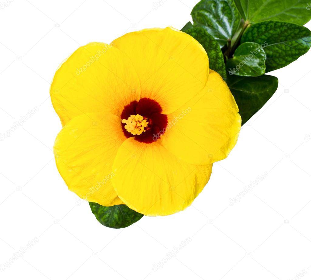 Yellow Hibiscustropical Flower Stock Photo Missisya 34340251