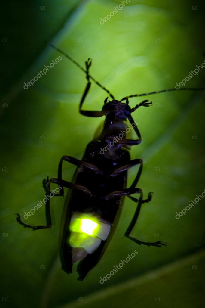 Firefly Flashing - Lightning Bug