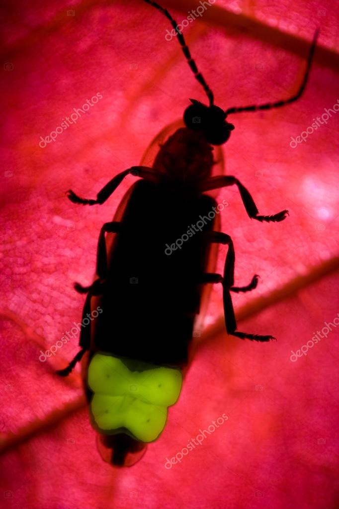 Firefly Flashing - Lightning Bug