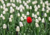 jeden červený Tulipán v moři bílé tulipány.