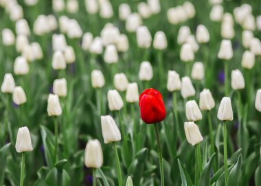 One red tulip in a sea of white tulips.