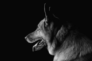 Close-up of a German Shepherd dog