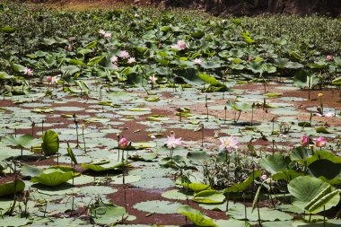 Water lilies in a pond, Mount Abu