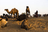 Photo Camels at Pushkar Camel Fair
