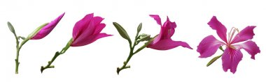 Bauhinia flowers Stages