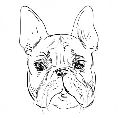 Bulldog in vector on white background, dog hand drawn, pretty sketchy illustration isolated