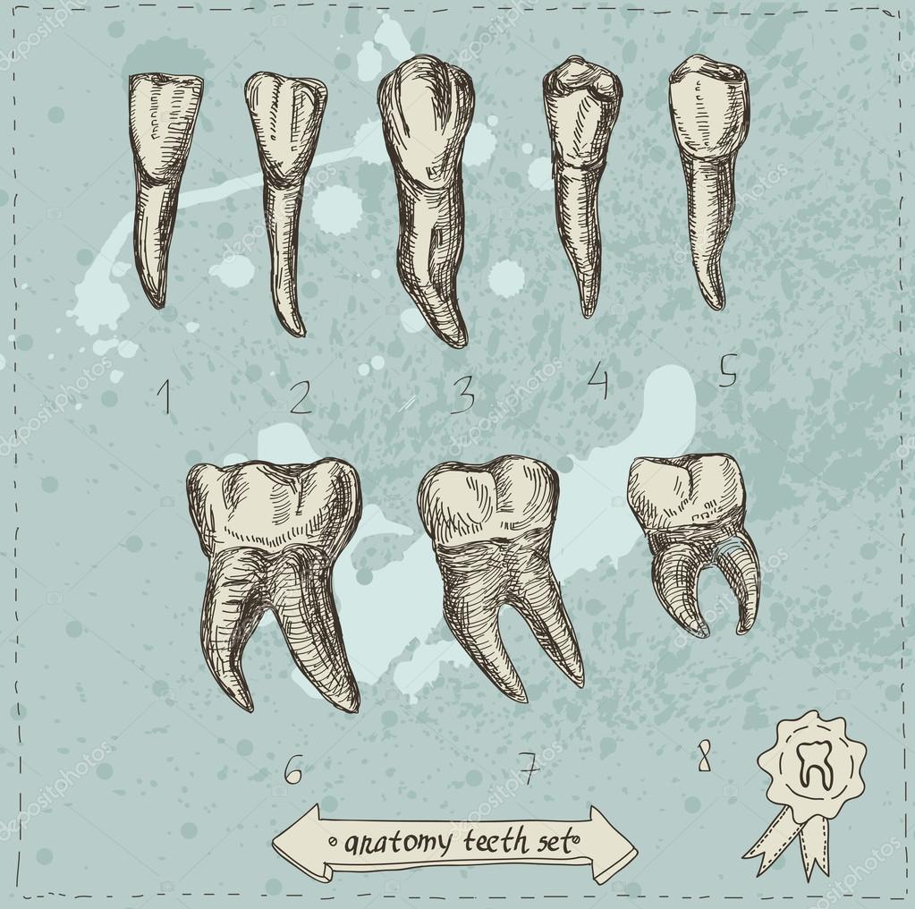 ilustración vectorial del sorteo conjunto mano anatomía dientes ...