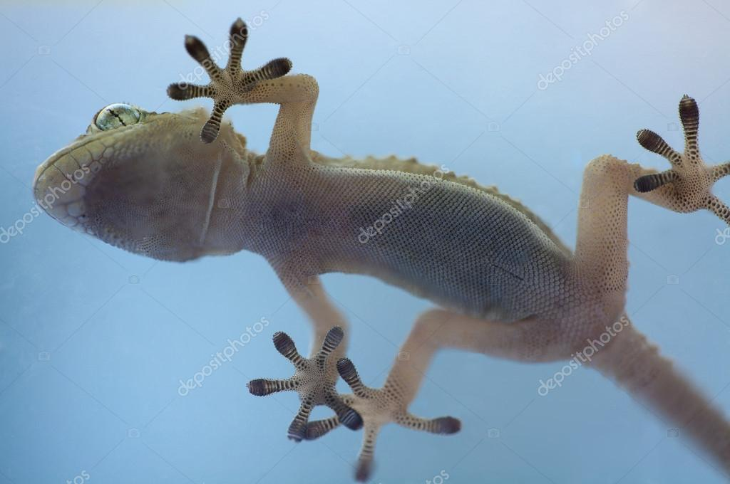 Adhesive hands of a gecko reptile from below