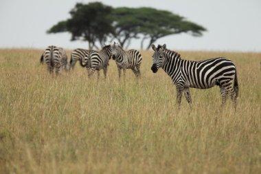 Zebras in the african savanna