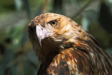 Black Kite Closeup