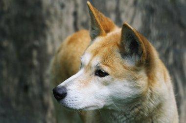 Dingo Close-up