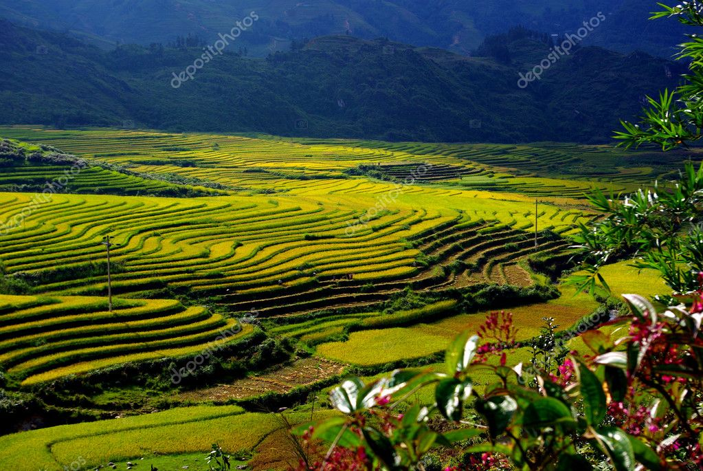 Terrace rice fields at sapa, North of vietnam