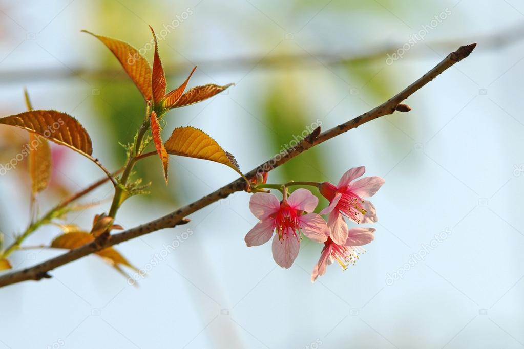 Pink Sakura with branch