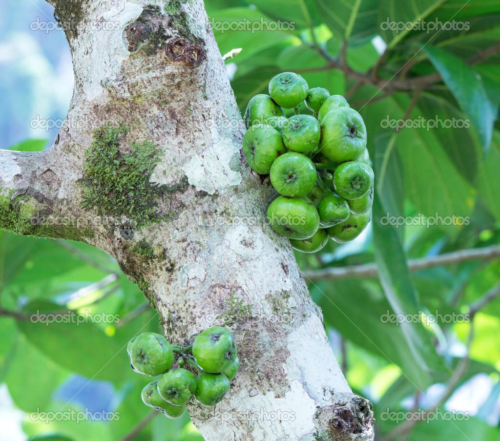 Fig on the tree ( Ficus hispida Linn. f. )