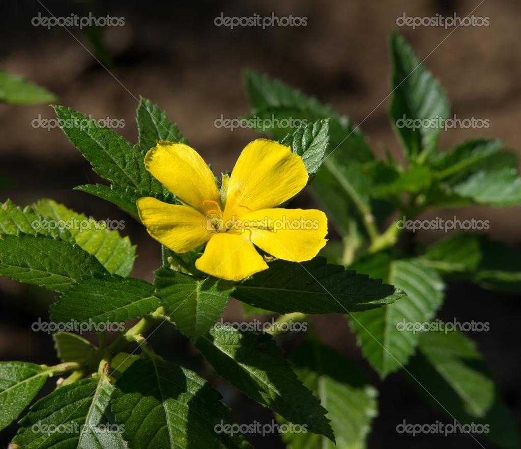 Sage Rose (Turnera subulata G.E. Smith)