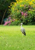Fotografie Openbill Stork (Anastomus oscitans) standing on the garden