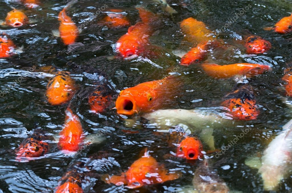 Close up koi fish swim in the fish pond