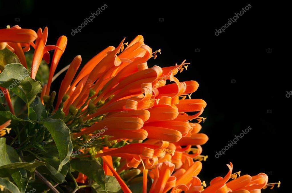 Orange trumpet on black background, Pyrostegia Venusta