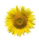 Fotografie Slunečnice izolovaných na bílém pozadí