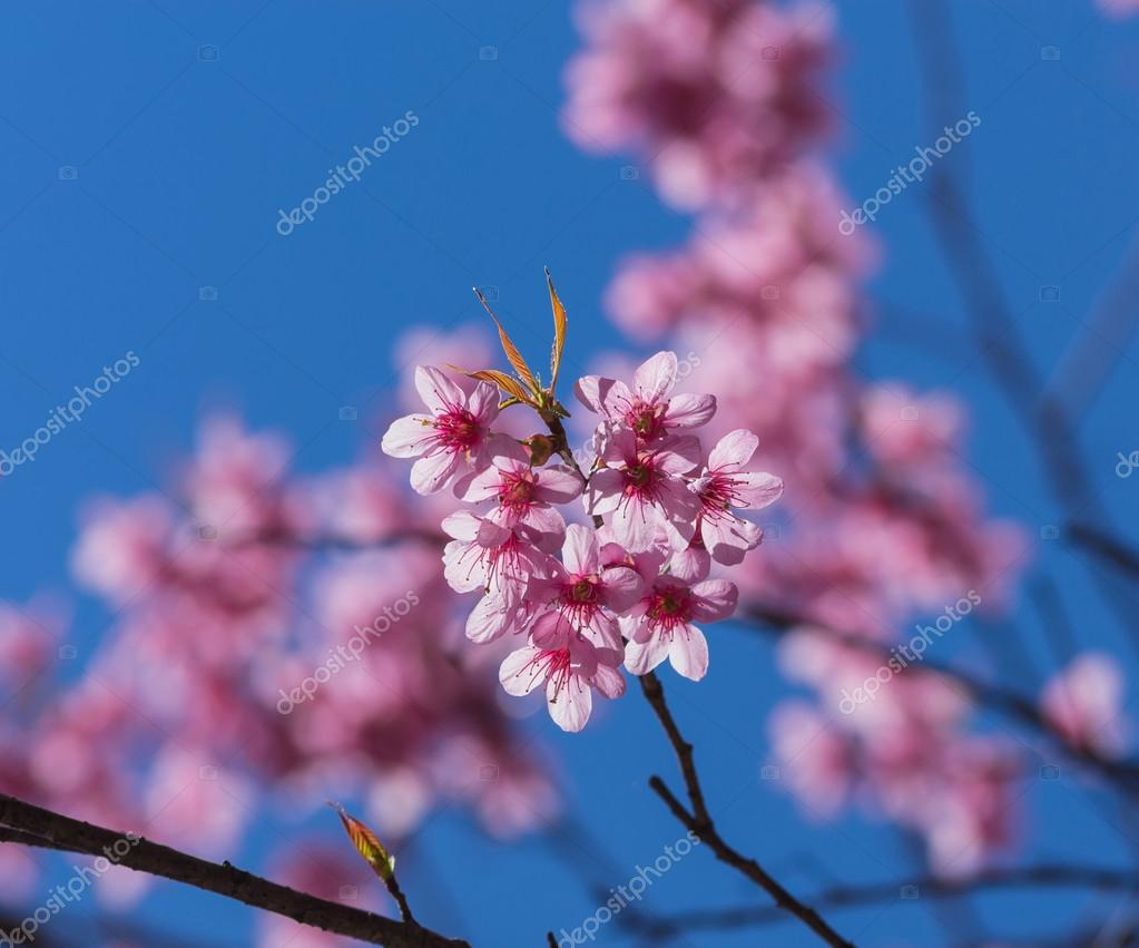 Beautiful Pink Sakura on blue sky