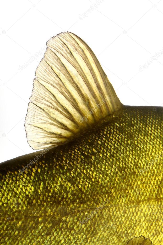 Colored fish swimming free, carp, tench