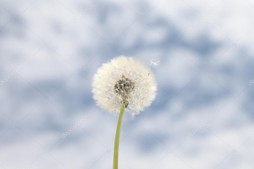 dandelion background blue sky