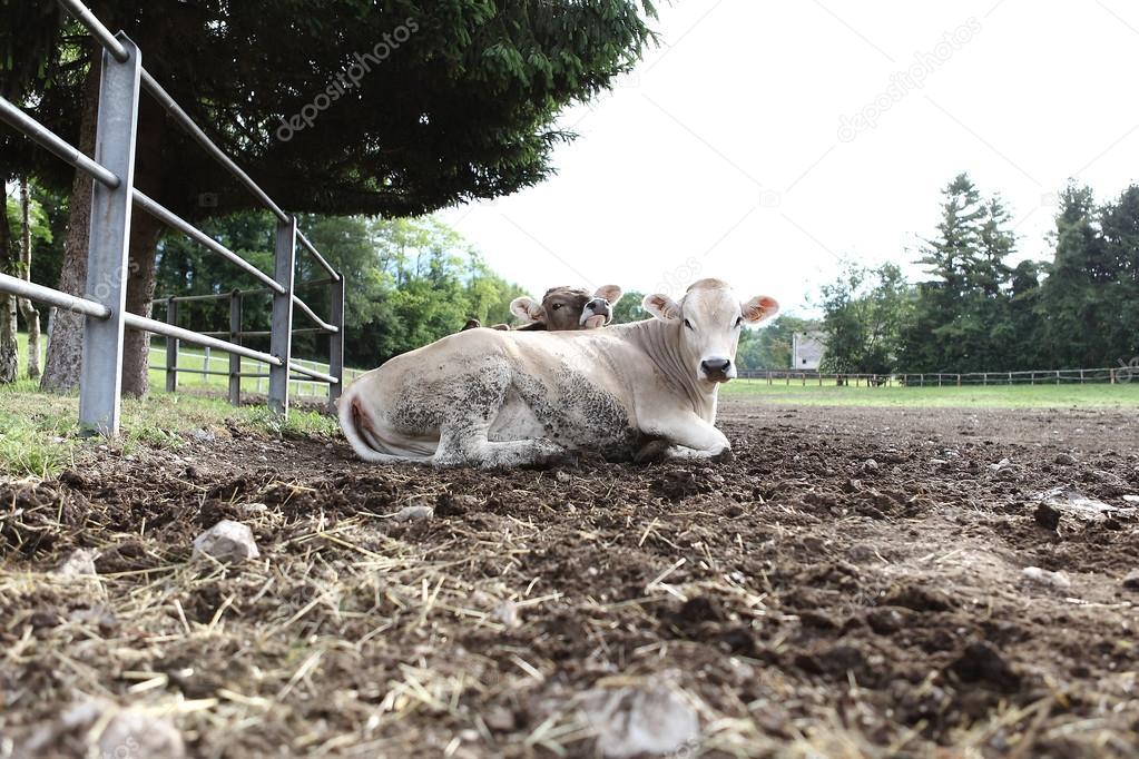 cows in field farm