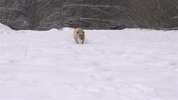 buldog běží zimní
