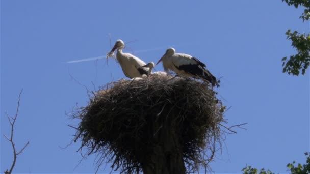 fehér gólya fészkel