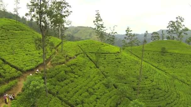 zelený čaj plantage