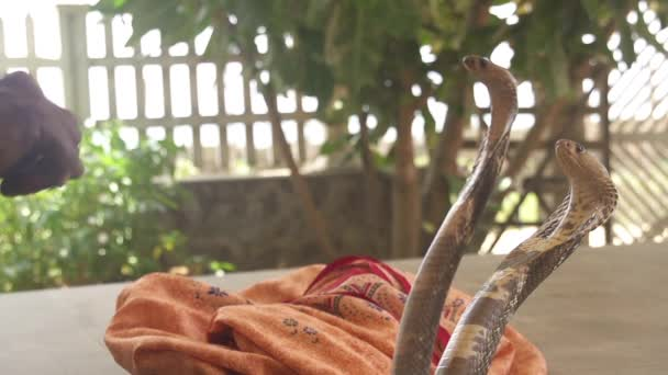 indické Zaříkávač hadů