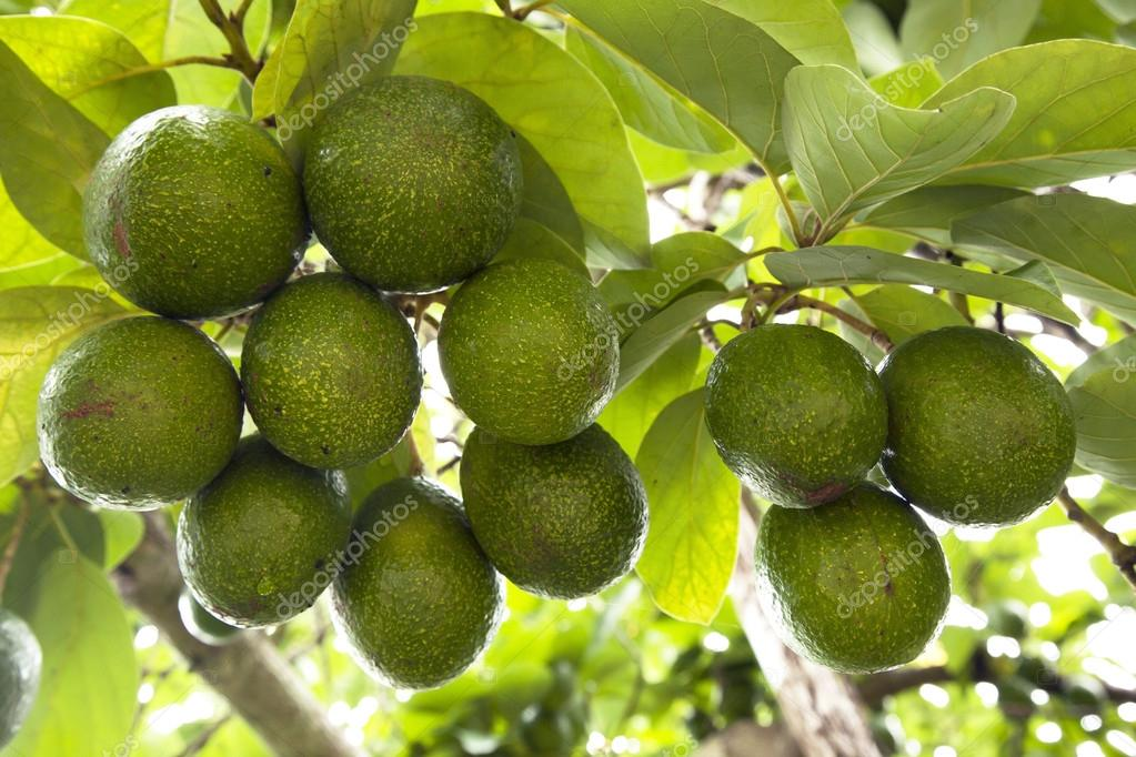 Avocados in farm