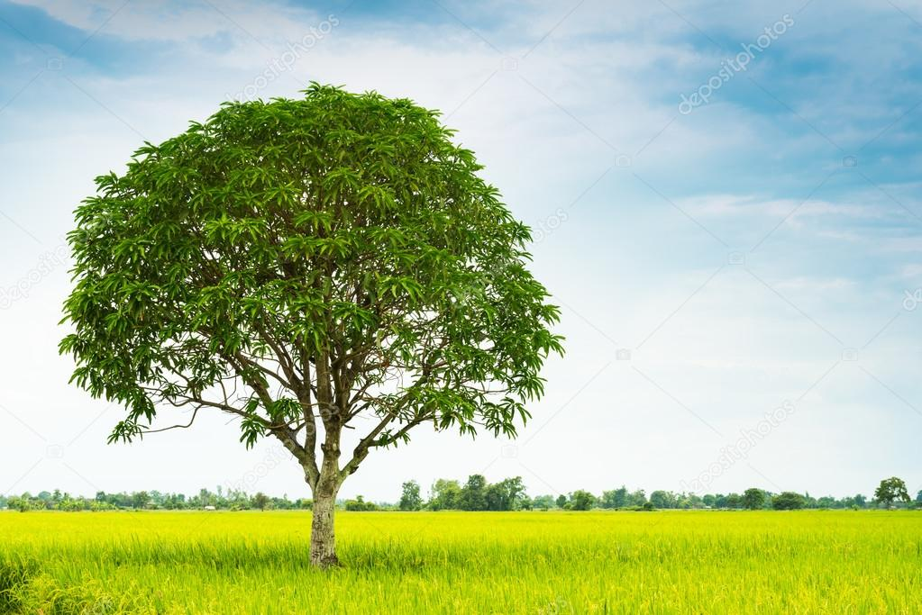 mango tree in rice farm