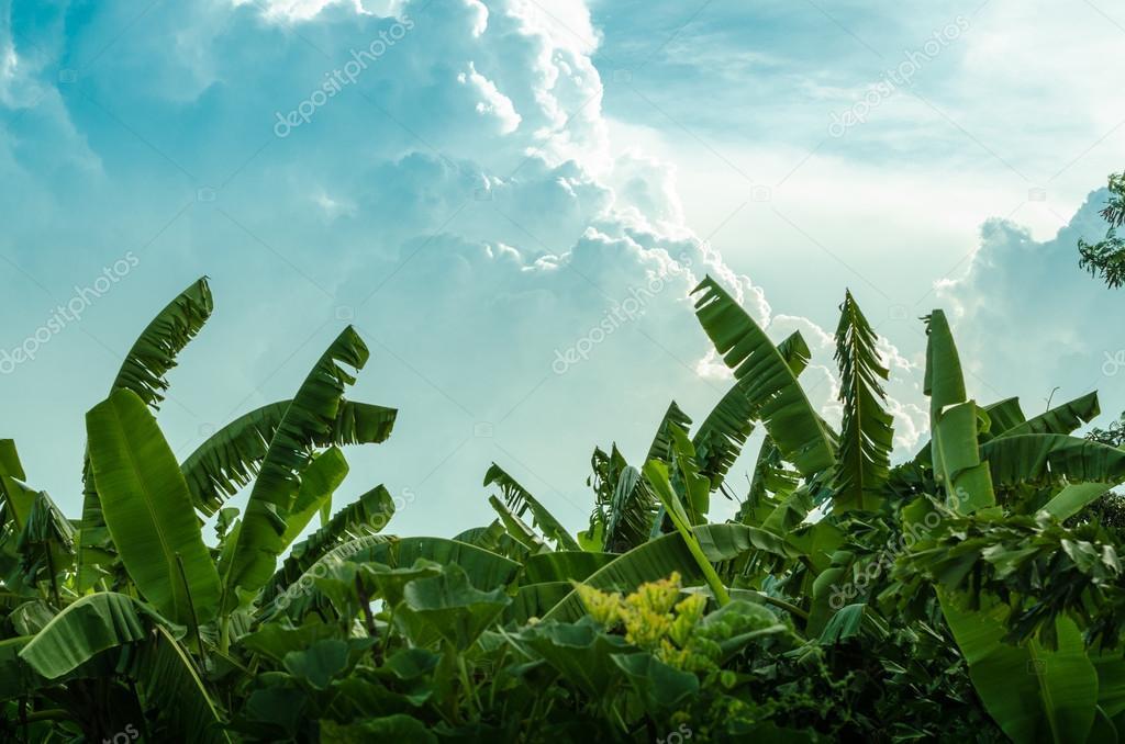 Banana tree and beautiful cloud