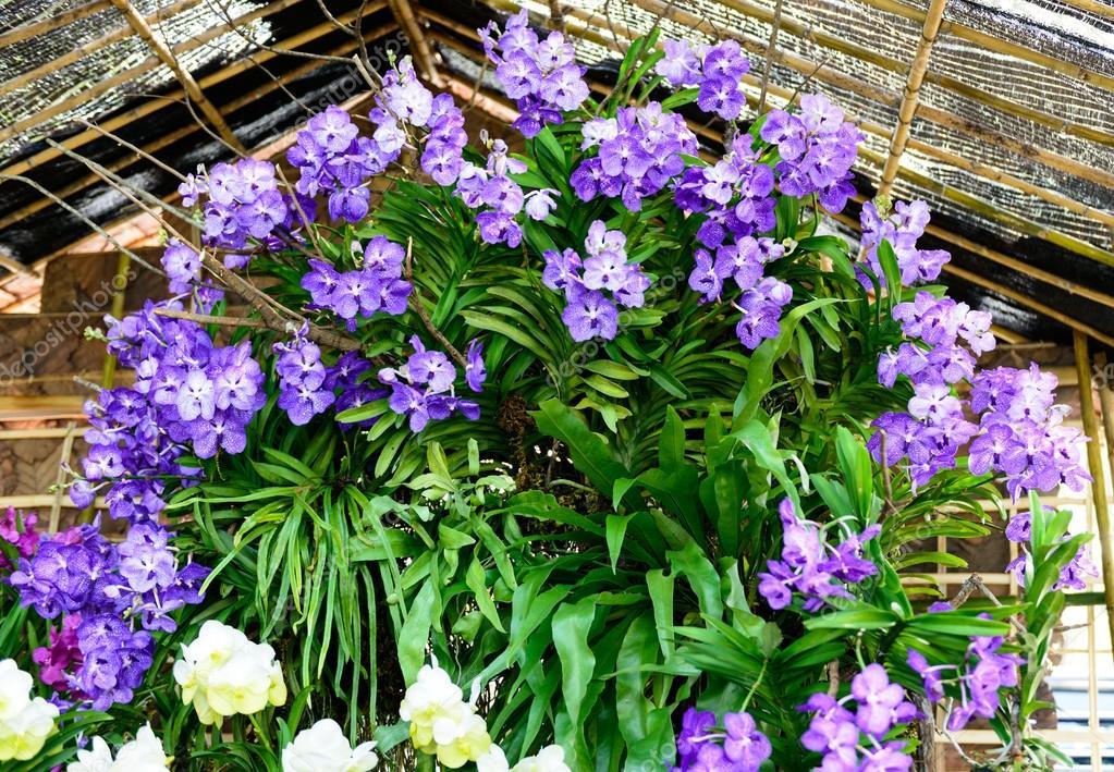 orchidea da giardino