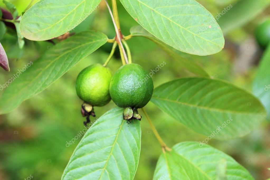 young green guava