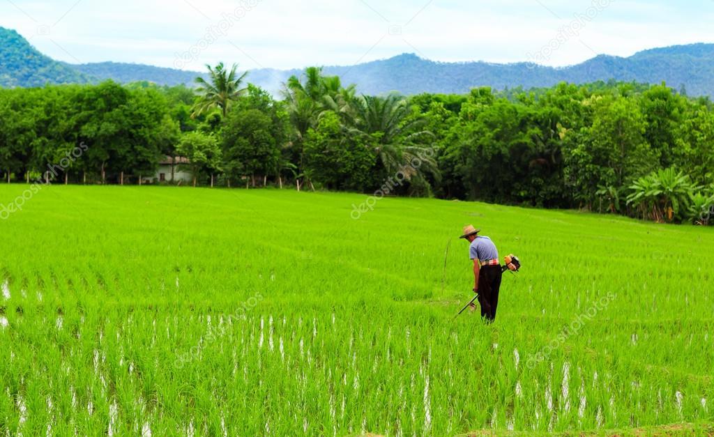 Rolnik Pracy Roślina Ryż W Gospodarstwie Z Tajlandii