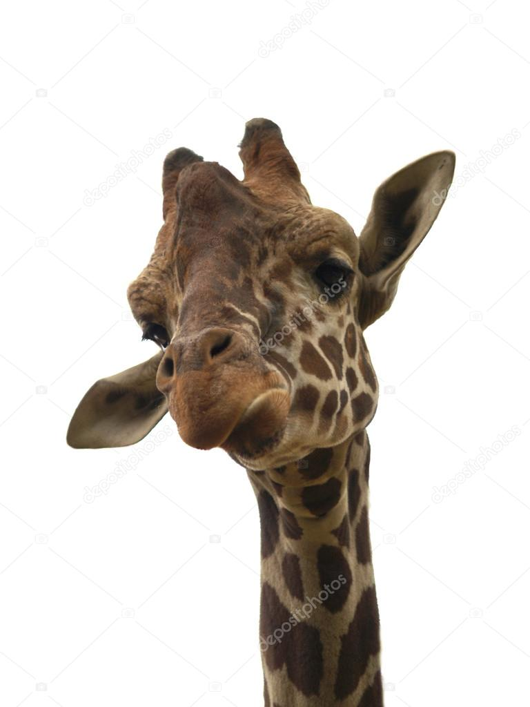 Isolated funny giraffe
