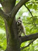 procione in un albero